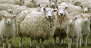 Those sheep had it coming…
